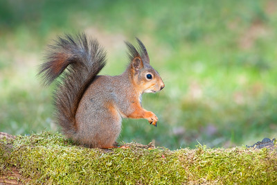 Squirrel , Ekorre