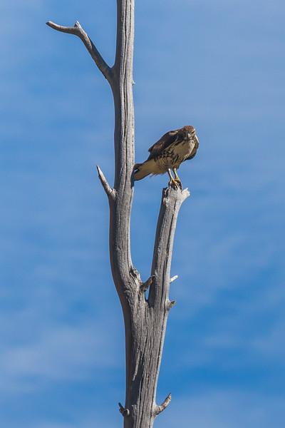 Lundy Canyon Hawk