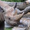 The Second Rhino