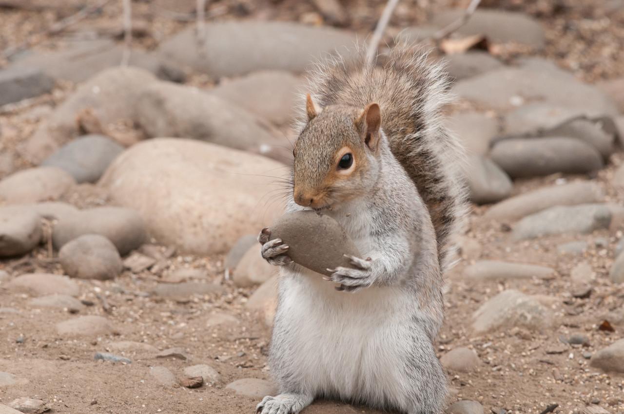 Red Fox Squirrel, Yakima, WA