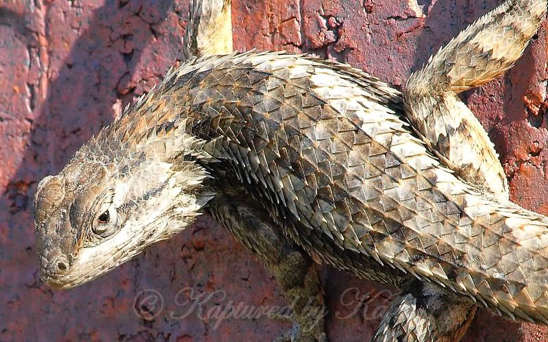 Sandy Lizard