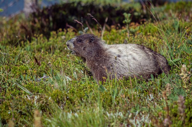 Hoary Marmot in the meadow