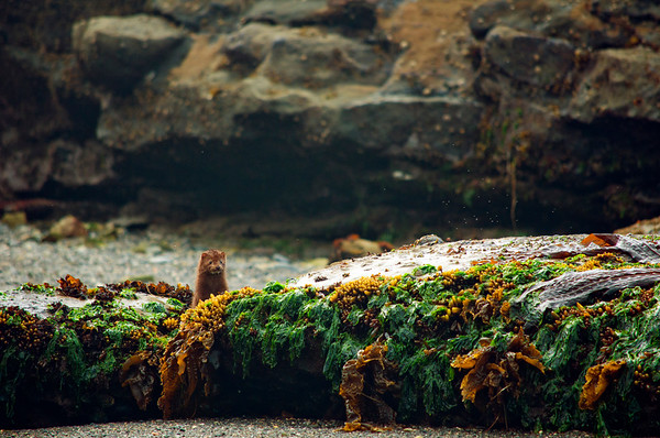 Mink (Neovison vison) hiding behind rocks on the beach