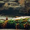 Mink (Neovison vison) hiding behind rocks on the beach
