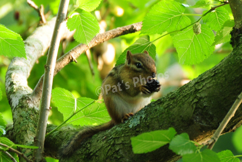 Chipmunk eatting mulberry