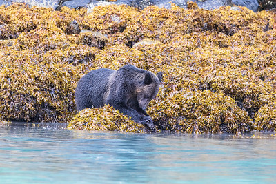 Grizzly Bear & Rope Mussels Canadian Rockies