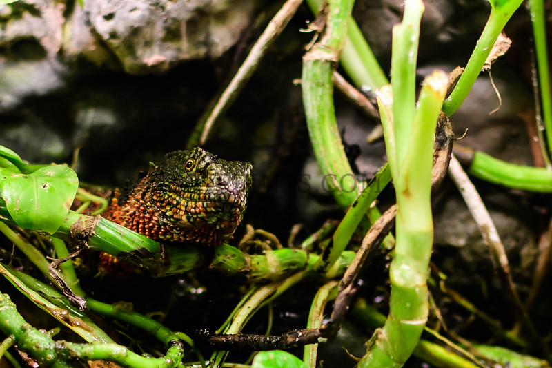 Male Chinese Crocodile Lizard