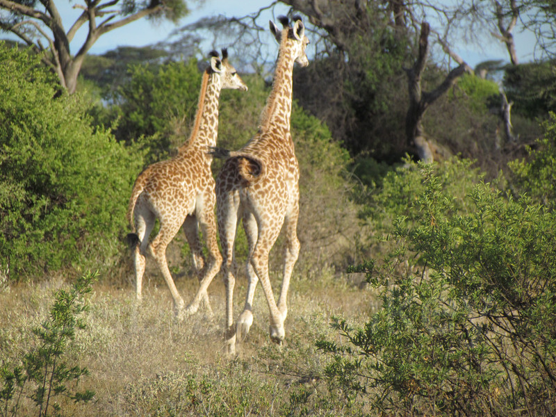 Baby giraffes running, Foothills of Kilimanjaro, Tanzania, Africa