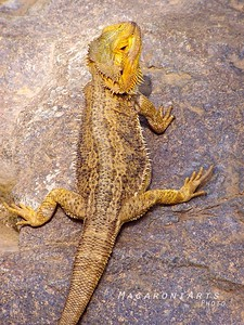 Posed Lizard