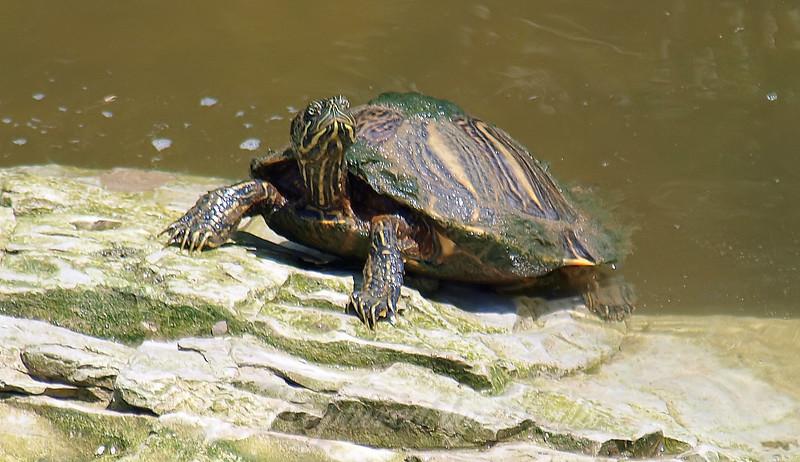 Disgruntled Turtle