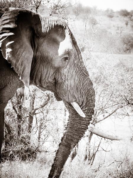 Elephant-Profile