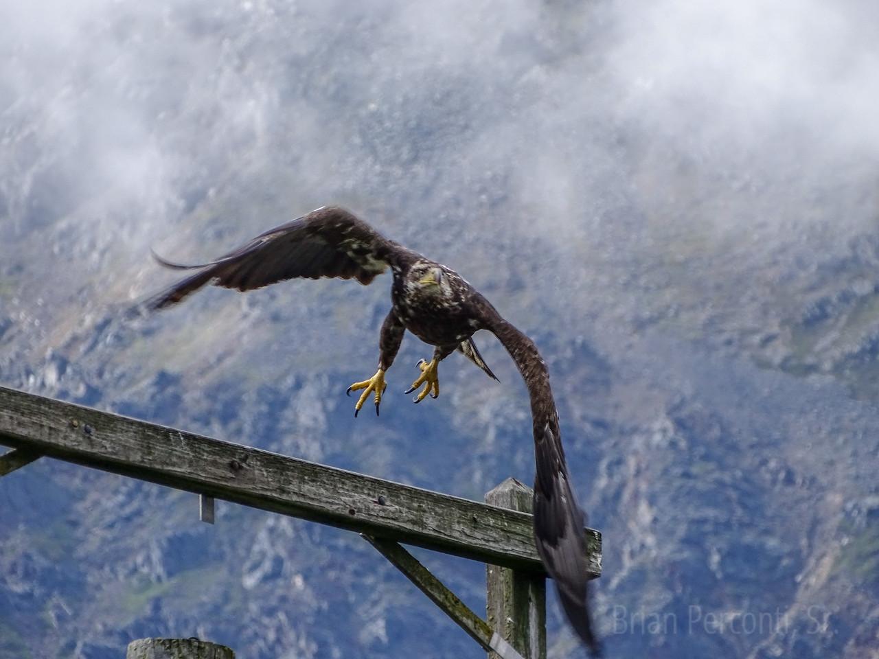 Juvenile Bald Eagle, Seward, Alaska