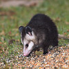 Patty Possum