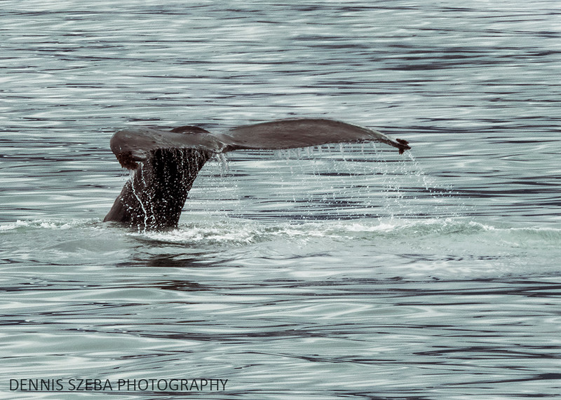 Humpback whale diving in Alaska. 2018