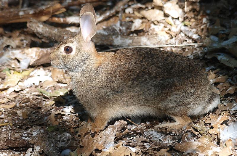 Rookery Rabbit In Dappled Sunlight