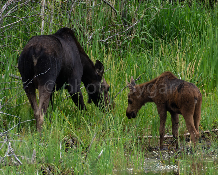 "Momma Moose and Calf  <div class=""ss-paypal-button""><div class=""ss-paypal-add-to-cart-section""><a href=""https://www.paypal.com/cgi-bin/webscr?cmd=_cart&business=AFXAAG2AA4Y32&lc=CA&item_name=Momma%20Moose%20and%20Calf&amount=20.00&currency_code=USD&button_subtype=products&no_note=0&cn=Add%20special%20instructions%20to%20the%20seller%3A&no_shipping=2&shipping=2.00&add=1&bn=PP-ShopCartBF%3Abtn_cart_LG.gif%3ANonHosted&item_number=https%3A%2F%2Fwww.photosbygar.com%2FAnimals%2Fi-PK8wb3V&charset=utf-8&submit="" target=""paypal"" class=""ss-paypal-submit-button""><img src=""https://www.paypalobjects.com/en_US/i/btn/btn_cart_LG.gif""></a></div> <div class=""ss-paypal-view-cart-section""><a href=""https://www.paypal.com/cgi-bin/webscr?cmd=_cart&business=AFXAAG2AA4Y32&display=1&item_name=Momma%20Moose%20and%20Calf&item_number=https%3A%2F%2Fwww.photosbygar.com%2FAnimals%2Fi-PK8wb3V&charset=utf-8&submit="" target=""paypal"" class=""ss-paypal-submit-button""><img src=""https://www.paypalobjects.com/en_US/i/btn/btn_viewcart_LG.gif""></a></div></div><div class=""ss-paypal-button-end""></div>"