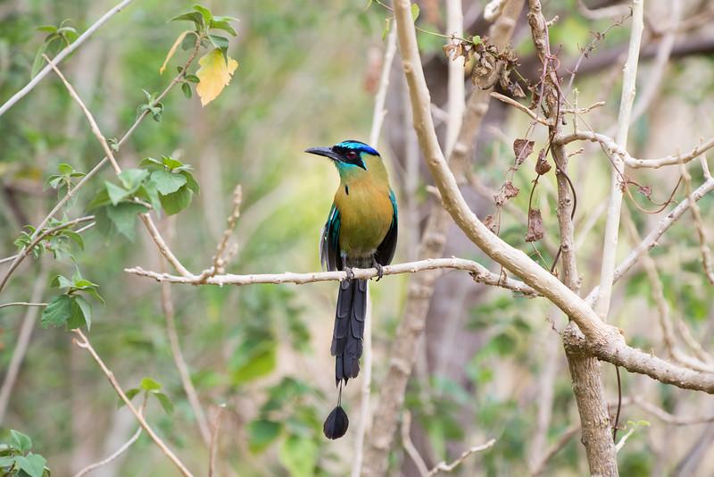 Turquoise-Browed Motmot in Monteverde