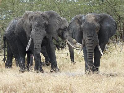 Three elephants with tusks, Tarangire National Park, Tanzania, East Africa