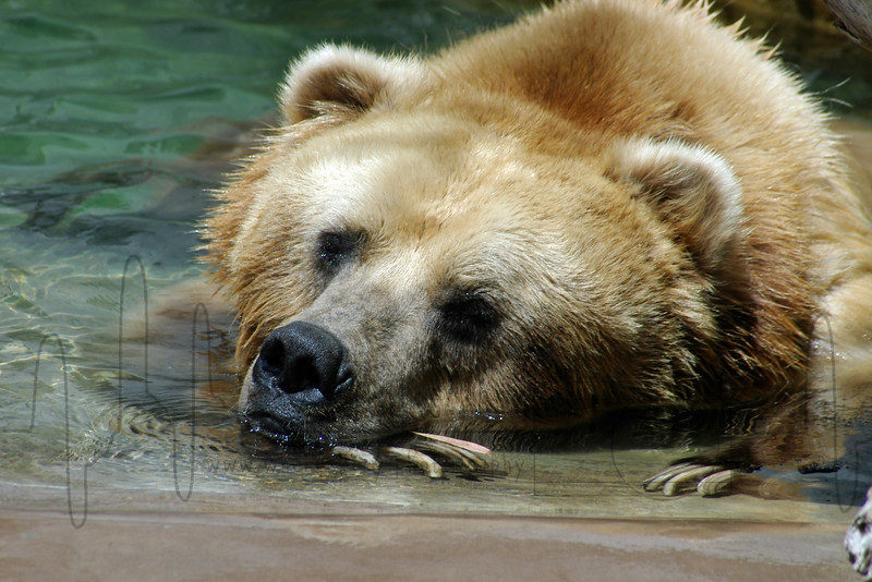 Grizzly Bear Rest