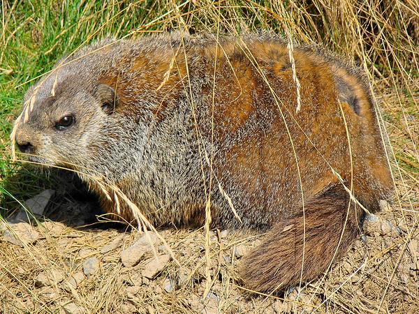 Woodchuck (Groundhog)