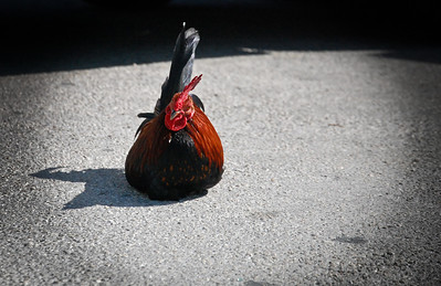 inquisitive chicken.