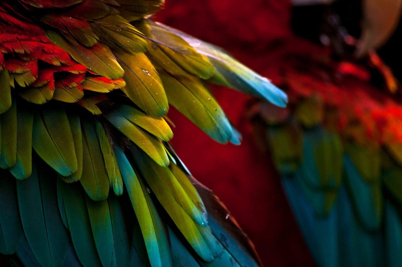 Scarlet Macaw (Ara macao) wing tips