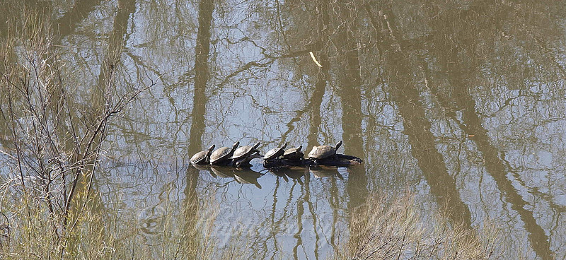Sunlit Reflections With Turtles