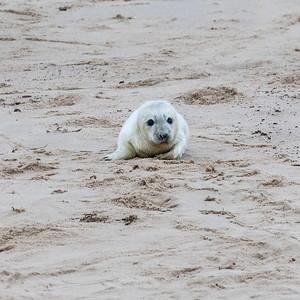 Seal Pup - Soo Cute