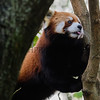 Red Panda Playing In The Trees