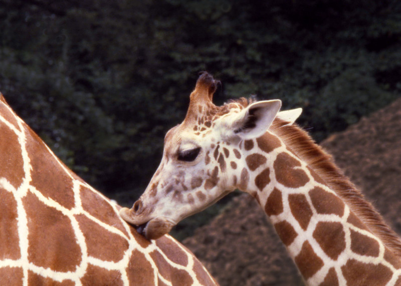A baby giraffe licks its' mothers neck at the Memphis Zoo.