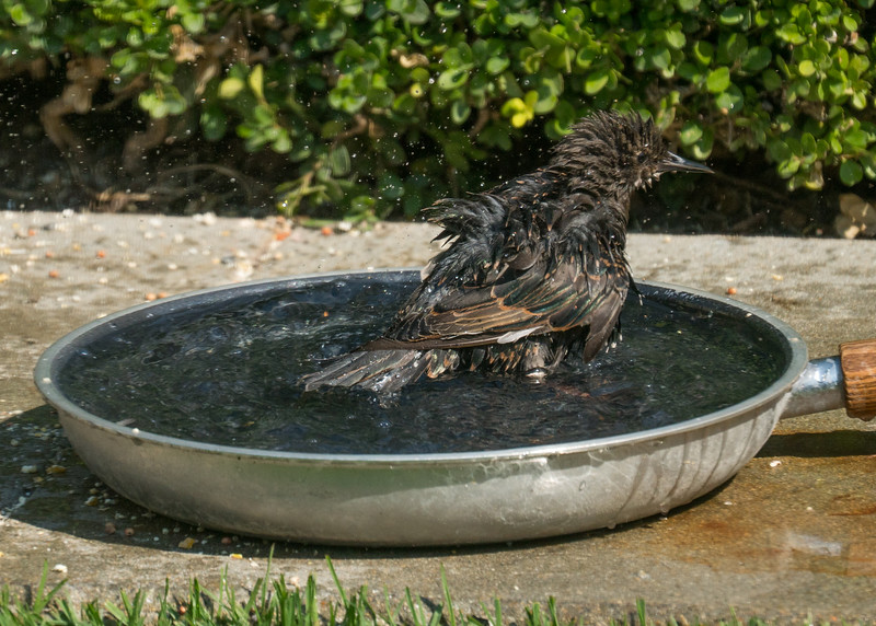082816 Bird Bath - Salinas 008 5x7L