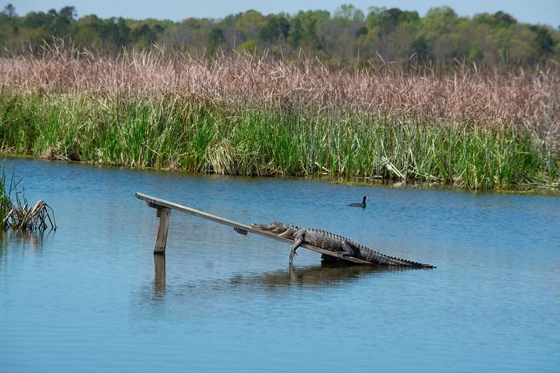 Alligator basking in the sun on the lake.