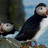 puffins, western fjords Iceland