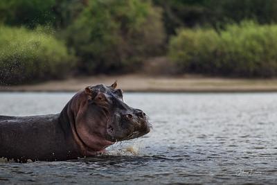 Hippo, Selous