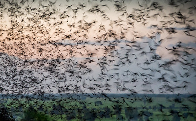 Bats of Battambang