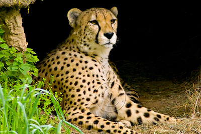 African Savanna - Cheetah