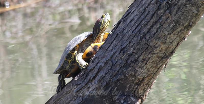 Turtles Climb Trees