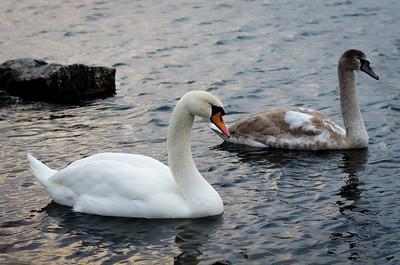 Swans In Lilla Essingen