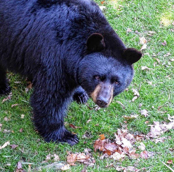 Black Bear, North Carolina