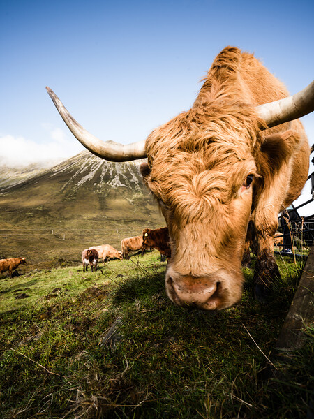 scottish-highland-cattle