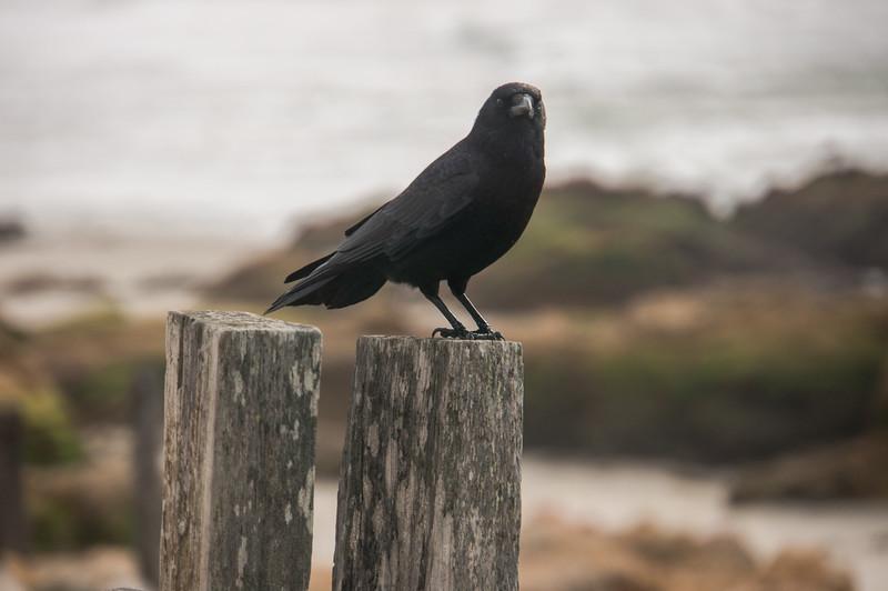 030716 Crow - Spanish Bay 001