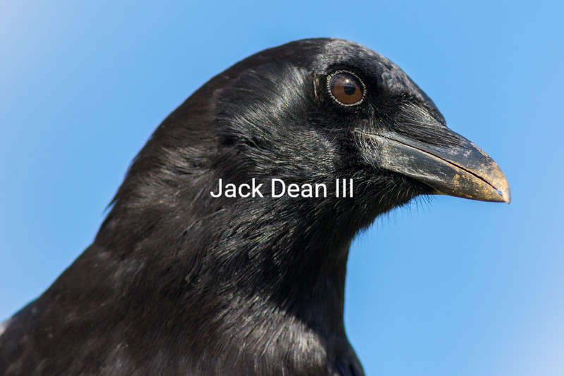 American Crow 3