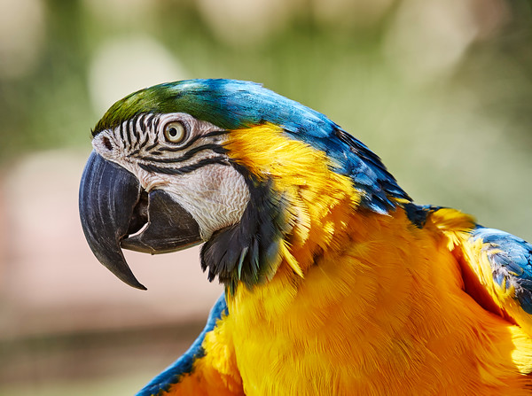 Blue and Gold Macaw Profile