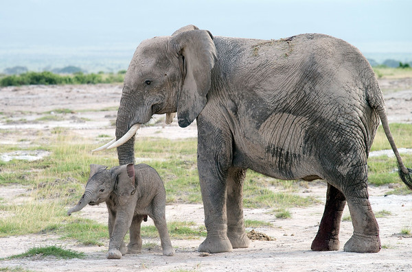 Elephant with Newborn, Amboseli National Reserve, Kenya