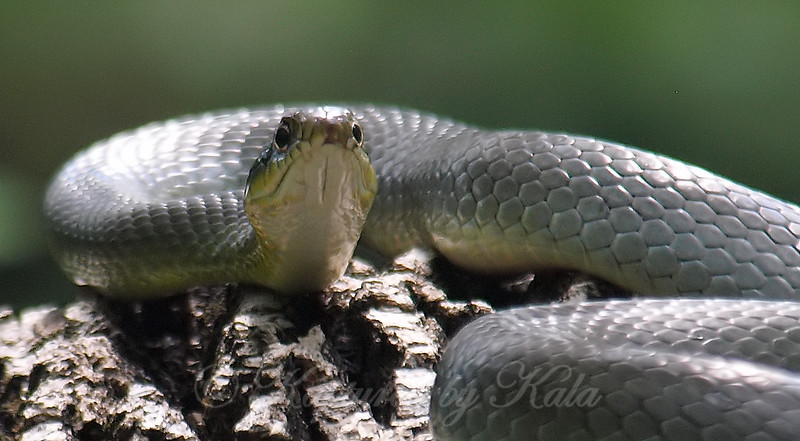 Stare Down With An Eastern Yellowbelly Racer