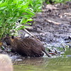 I'm Off To Do Important Nutria Stuff