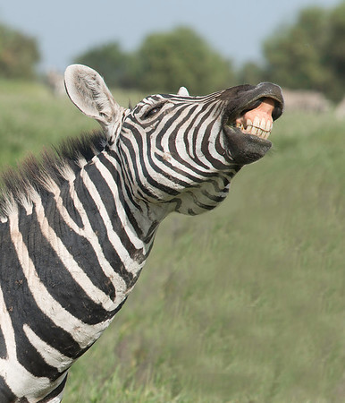 Laughing Zebra, Amboseli National Reserve, Kenya