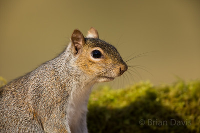 Grey Squirrel 2