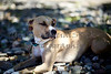 pit bull terrier mix dog laying in shade of tree