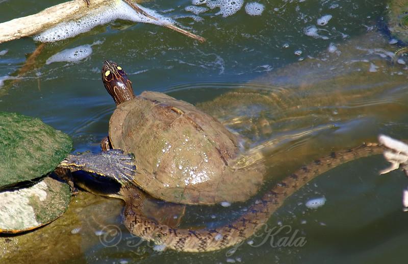Water Snake Photobomb